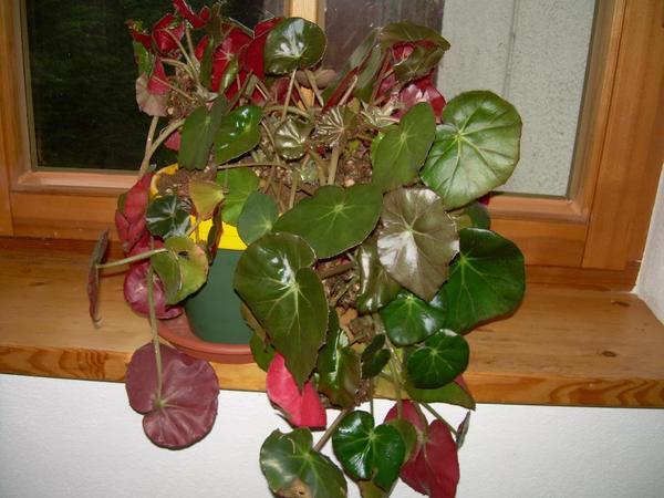 Zimmerpflanze begonie begonia erytrophylla in gauting pflanzen kaufen und verkaufen ber - Begonie zimmerpflanze ...