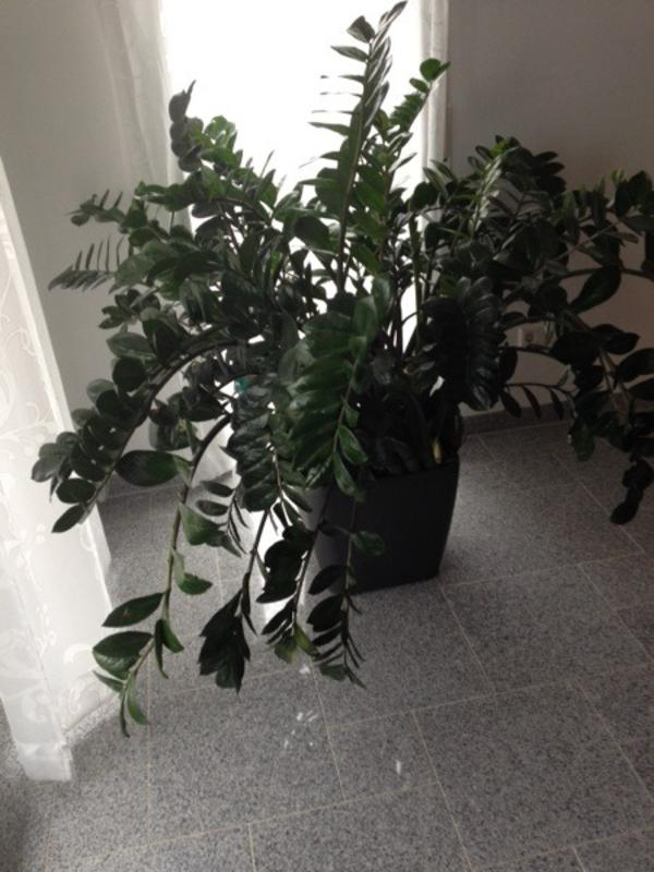 zimmerpflanze b ropflanze zamioculcas zamiifolia araceae im lechuza topf in heroldstatt. Black Bedroom Furniture Sets. Home Design Ideas