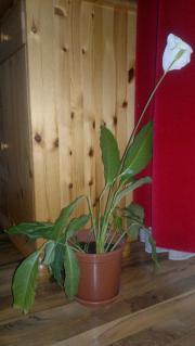 Zimmerpflanze, Einblatt-Spathiphyllum