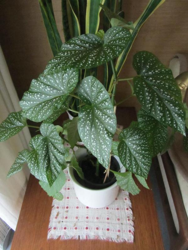 Pflanzen zimmerpflanzen geldbaum dickblatt pfennigbaum for Pflanzen zimmerpflanzen