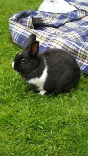 Zwerg Kaninchen Hase