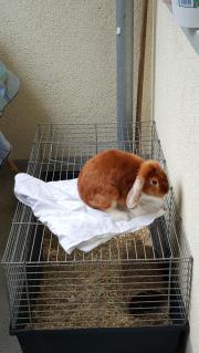 Zwerg kaninchen mit