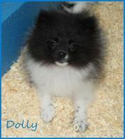 Zwergspitzhündinenwelpe Dolly schwarzgescheckt