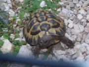 1 griechische Landschildkröte (