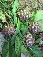 11 Griechische Landschildkröten