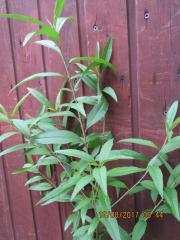 15 St Pfirsichbaumpflanze ca 55