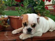 2 Englisch Bulldog
