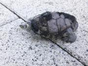 2 Mississippi-Höckerschildkröten