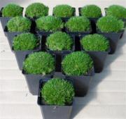 Pflanzen Fur Japanischen Garten | Möbelideen