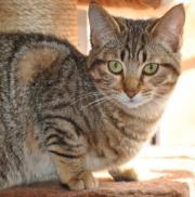 Amelia - zuckersüßes Katzemädchen