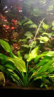 aquarium Pflanze aus