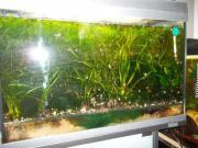 Aquariumpflanzen, guppys und