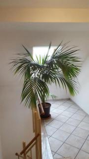 zimmerpflanze palme pflanzen garten g nstige angebote. Black Bedroom Furniture Sets. Home Design Ideas