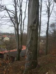 Bäume fällen in