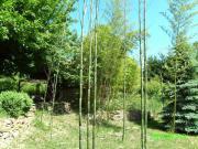 Bambus versch Sorten