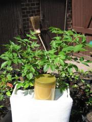 Bienenbaum 3St a ca 35cm