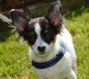 Bildschöne Chihuahua-Welpen(