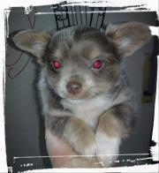 Bildschöne Chihuahua - Welpenmädchen