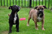 Bildschöne Engl. Bulldog