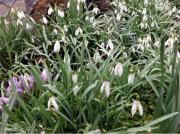 Blumenzwiebeln Schneeglöckchen