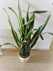 zimmerpflanze birkenfeige ficus benjamini pflanze top sch n gewachsen fikus in rottweil. Black Bedroom Furniture Sets. Home Design Ideas