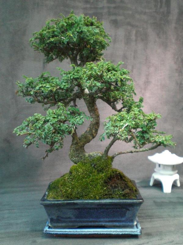 Bomo zimmer bonsai ulme etage untersetzer in for Bonsai pflanzen