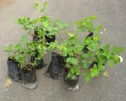 Brombeeren Brombeere Brombeerpflanzen Brombeerpflanze Pflanze