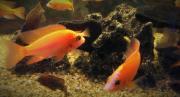 Buntbarsche Aulonocara Firefish Coral Red