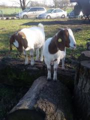 Burenziegen - Ziegen