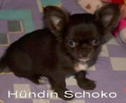 Chihuahua Hündin schoko