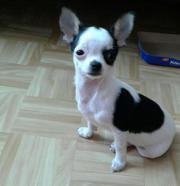 Chihuahua Hunde sind