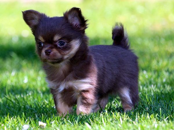 Chihuahua welpen aus seriöser zucht schoko in selters