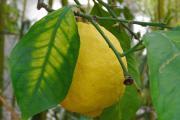 Citronensäure-Monohydrat