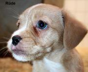 Dackel - Border Terrier