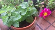 Dahlien Pflanzen zu