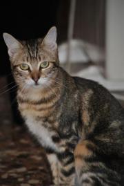 Dama - zauberhaftes Katzenmädchen