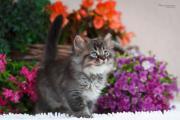 Deutsch Langhaar Kätzchen