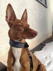 Dobby - ein liebenswürdiger Podenco