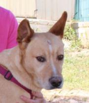 Duke, Podenco-Labrador