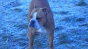 Englische Bulldogge in