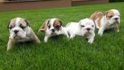 Englische Bulldoggen -Welpen