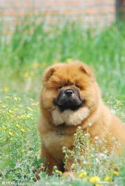 Exclusive Chow Chow