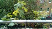 Feigen Bäume Setzlinge