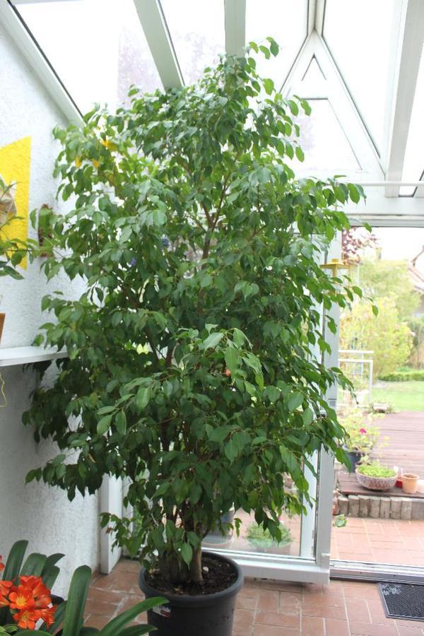 Ficus Benjamini Kaufen : ficus benjamini ca 2 70 3 00 mtr hoch ca 40 jahre alt in lingenfeld pflanzen kaufen und ~ A.2002-acura-tl-radio.info Haus und Dekorationen