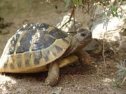 Griechische Landschildkröte (Testudo