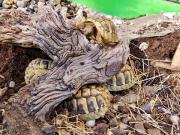 Griechische Landschildkröten NZ