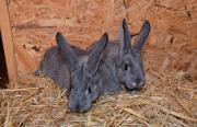 Hasen , Kaninchen
