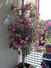 Hochstamm Oleander