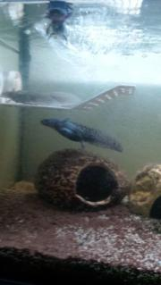 Junge Axolotl Wildis