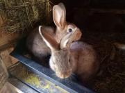 junge Kaninchen und